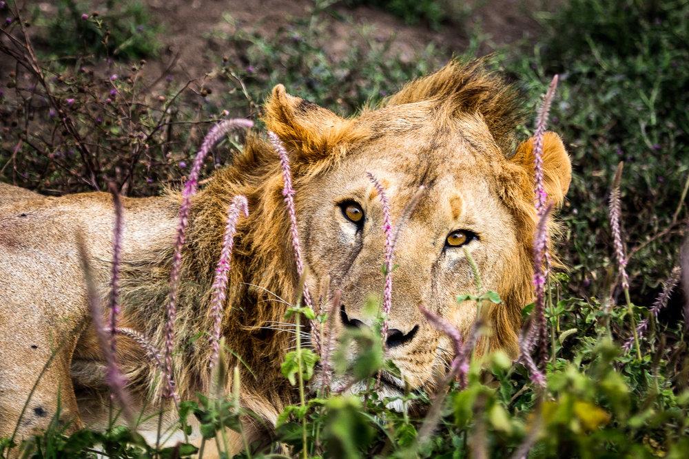 Male-Lion-Eyes-On-Serengeti.jpg