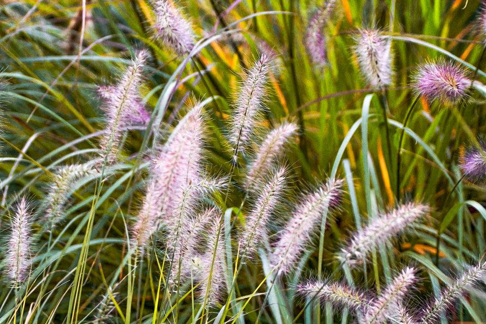 Field-Grass-Weeds-Purple-Tinged.jpg
