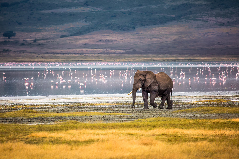 Elephant-Walks-By-Lake-Magadi-Flamingos-Ngonrongoro-Use-2.jpg