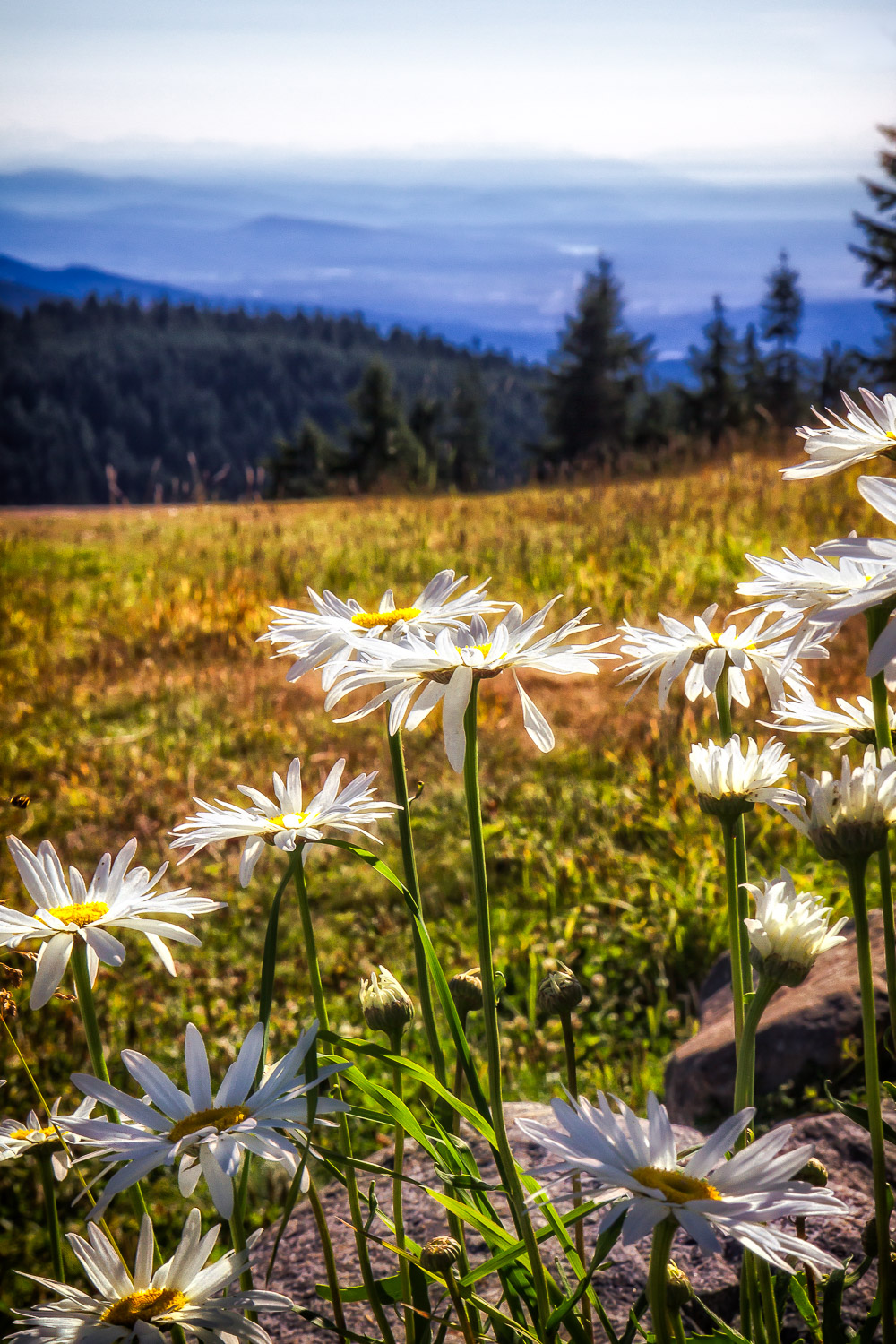 Daisies And Mountains   Meredith, New Hampshire