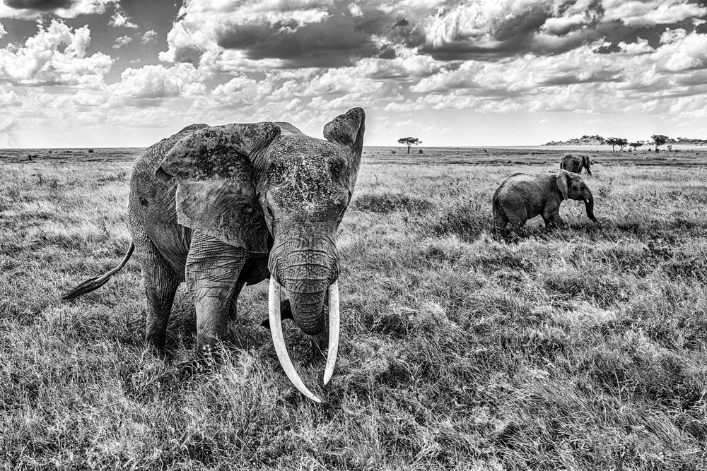 Elephant-Charge-Serengeti-BW-2-2.jpg