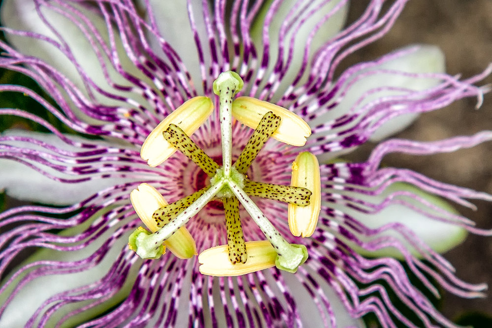 Pink Passion Flower Charleston, South Carolina