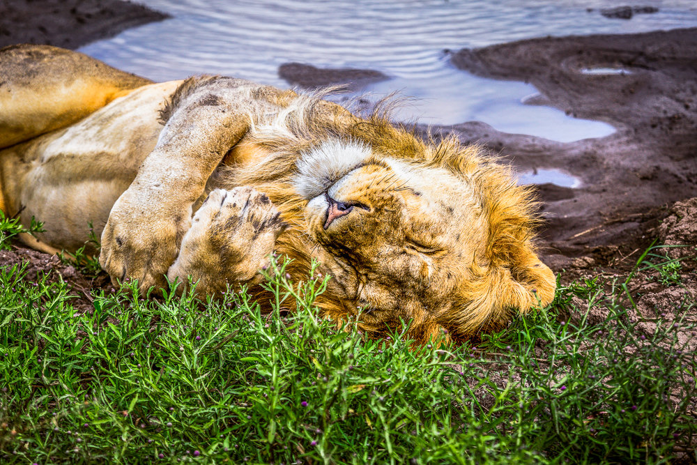 When Lions Nap Serengeti, Tanzania
