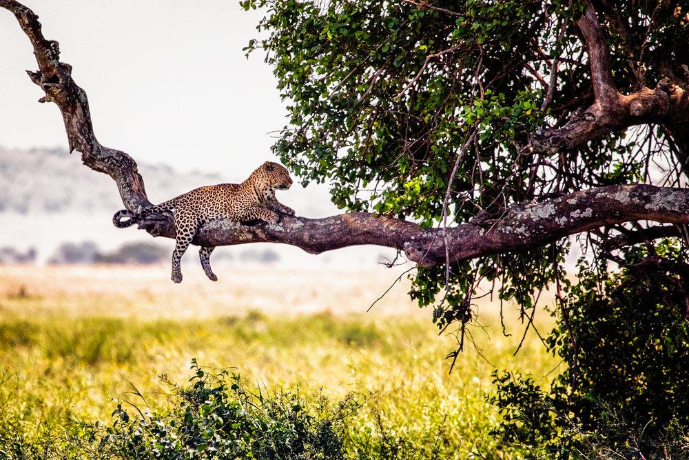 Leopard In Repose Arusha, Tanzania