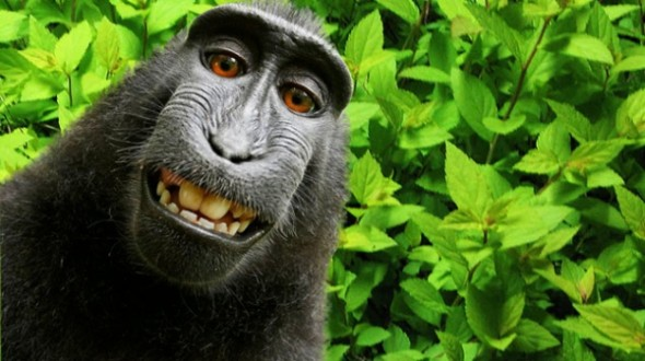 monkey-selfie-wikipedia-590x330