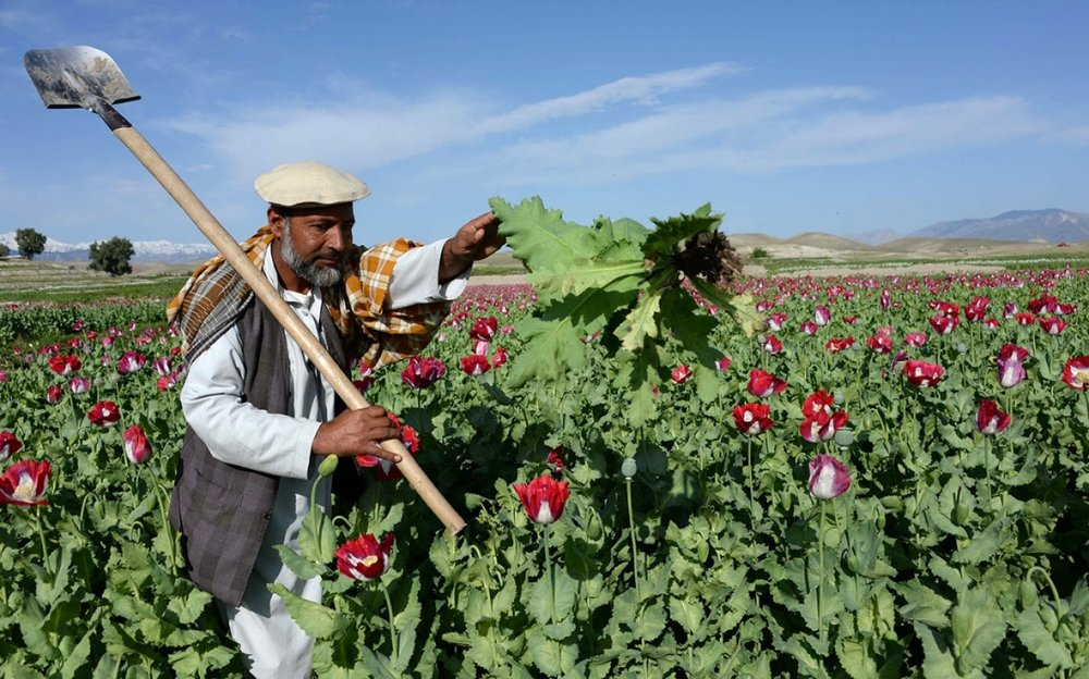 An Afghan farmer works in a poppy field on the outskirts of Jalalabad, the capital city of Nangarhar province. (Noorullah Shirzada/AFP/Getty)