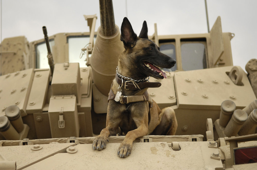 U.S. Air Force military working dog Jackson sits on a U.S. Army M2A3 Bradley Fighting Vehicle before heading out on a mission in Kahn Bani Sahd, Iraq, Feb. 13, 2007. (SSgt Stacy L. Pearsall/U.S. Air Force Photo)