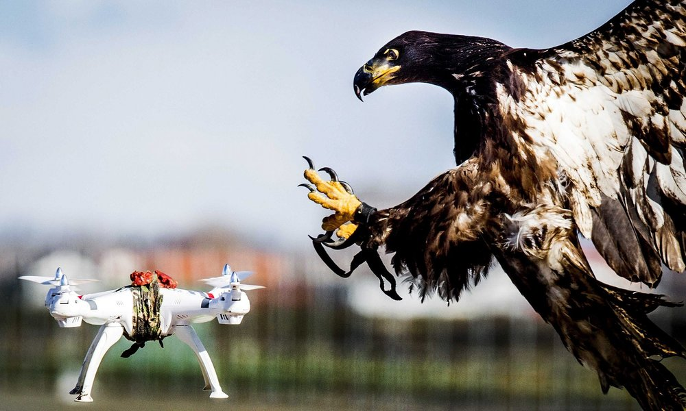 Specially Trained Anti-drone Eagle Taking Down Its Prey in Katwijk, Netherlands. (REBRN)