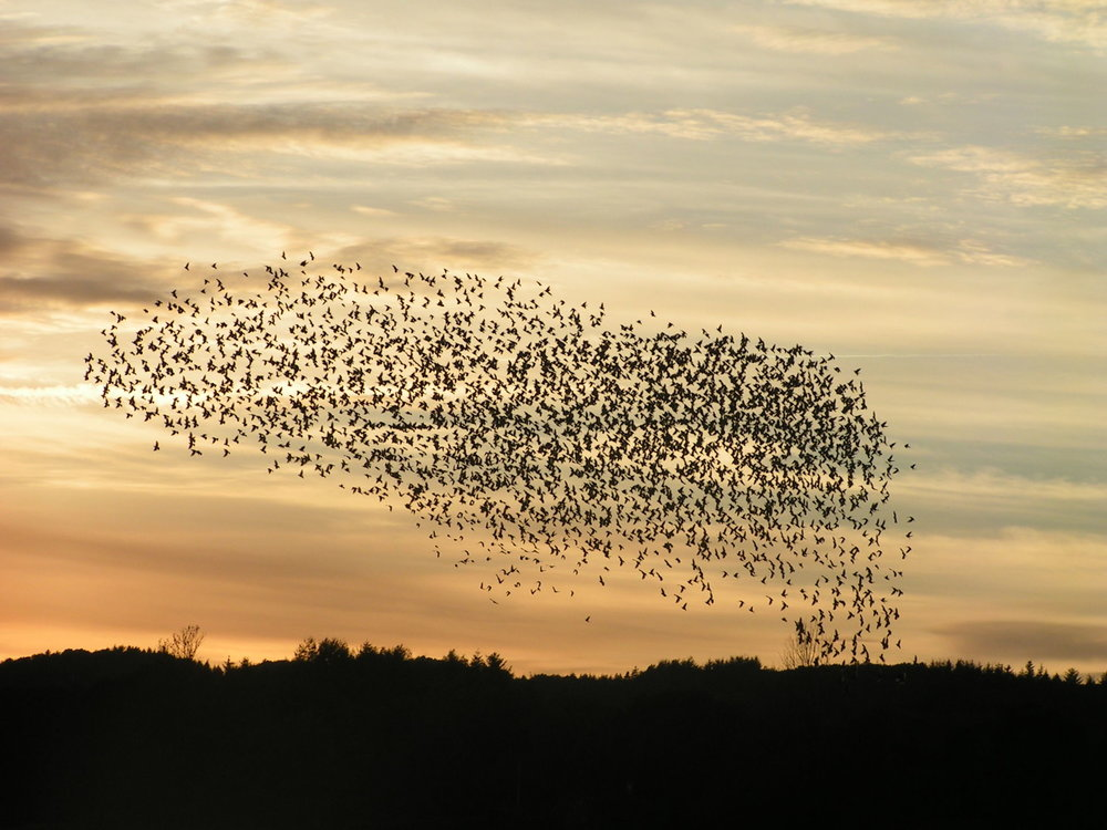 Birds as individual agents self organizing as a flock and exhibiting emergent behavior. (Wikimedia)