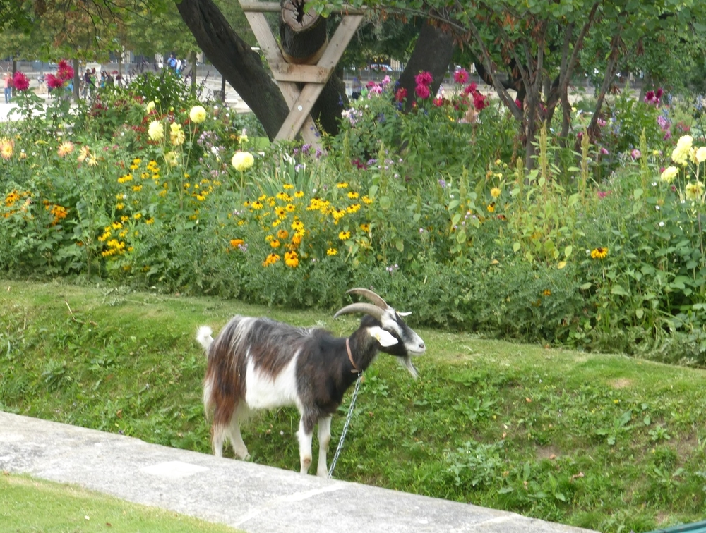 One of the goats serving as a lawn trimmer in the Jardin Tuileries.