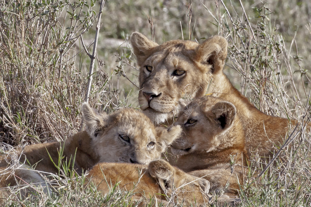 Lioness and Family