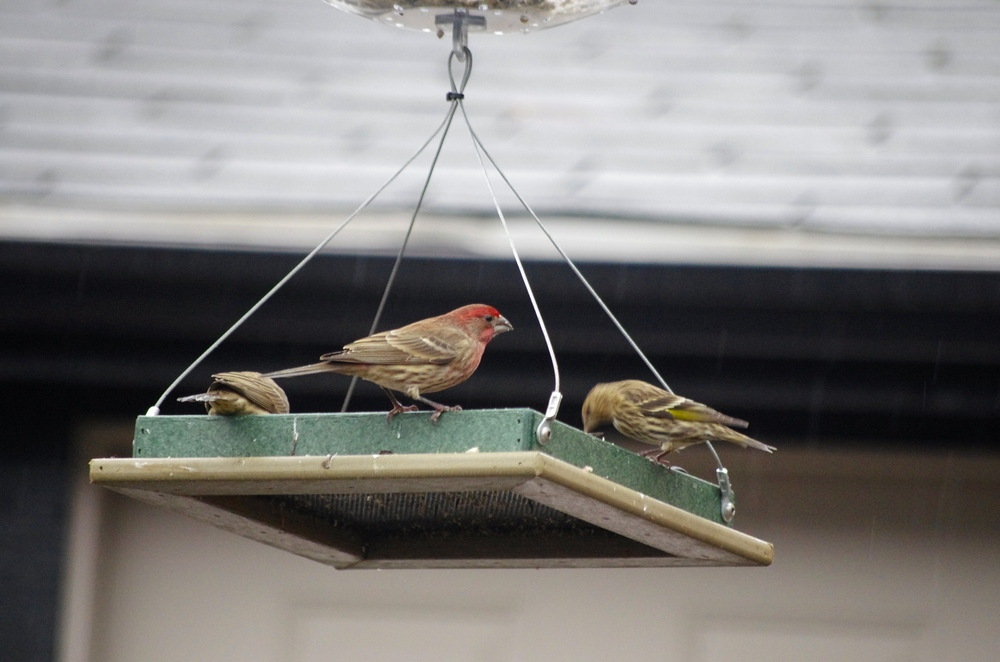 House Finch and Sparrow.JPG