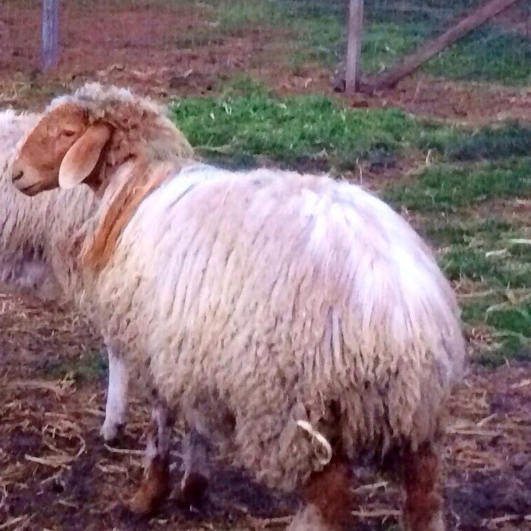 Sheep Blog — Milking Sheep