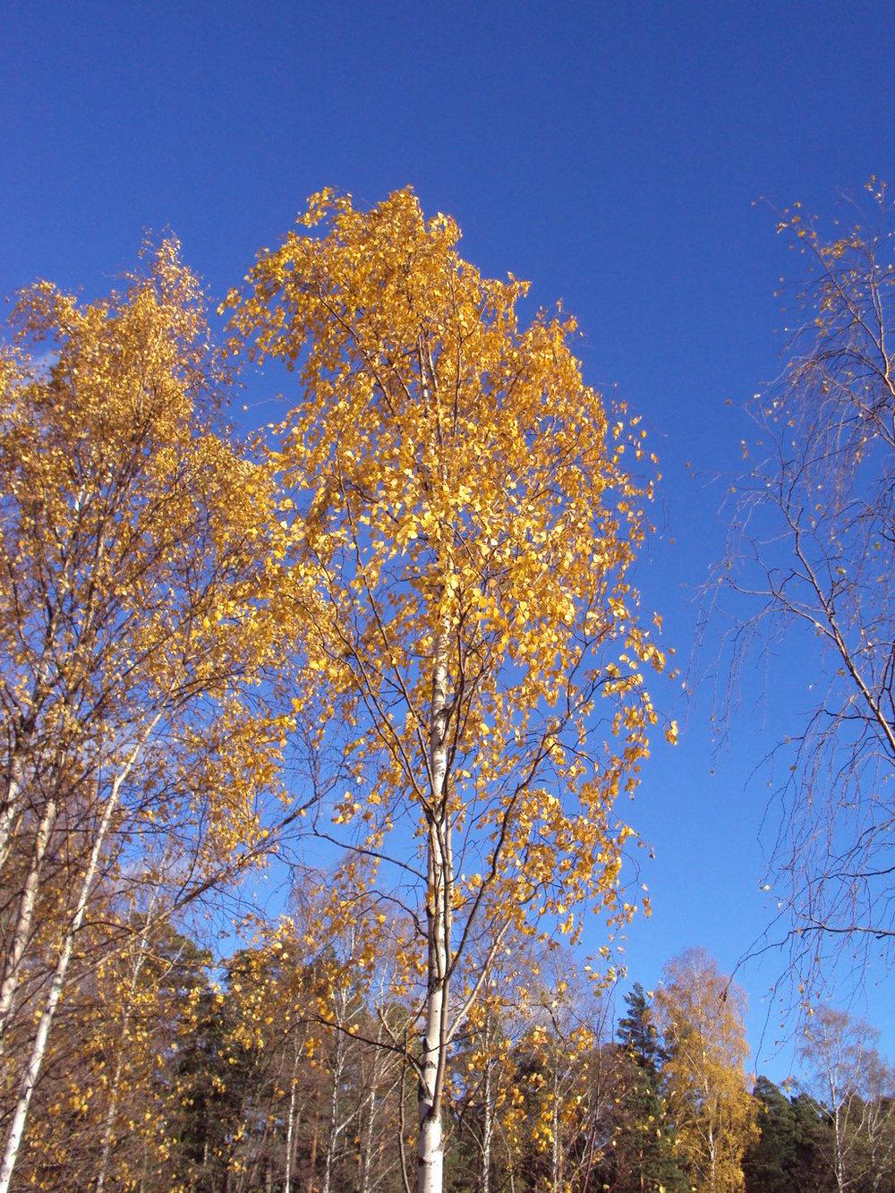 yellow birch.jpg