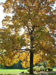 hickory tree.jpg