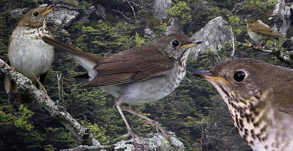 the Bicknell's Thrush -