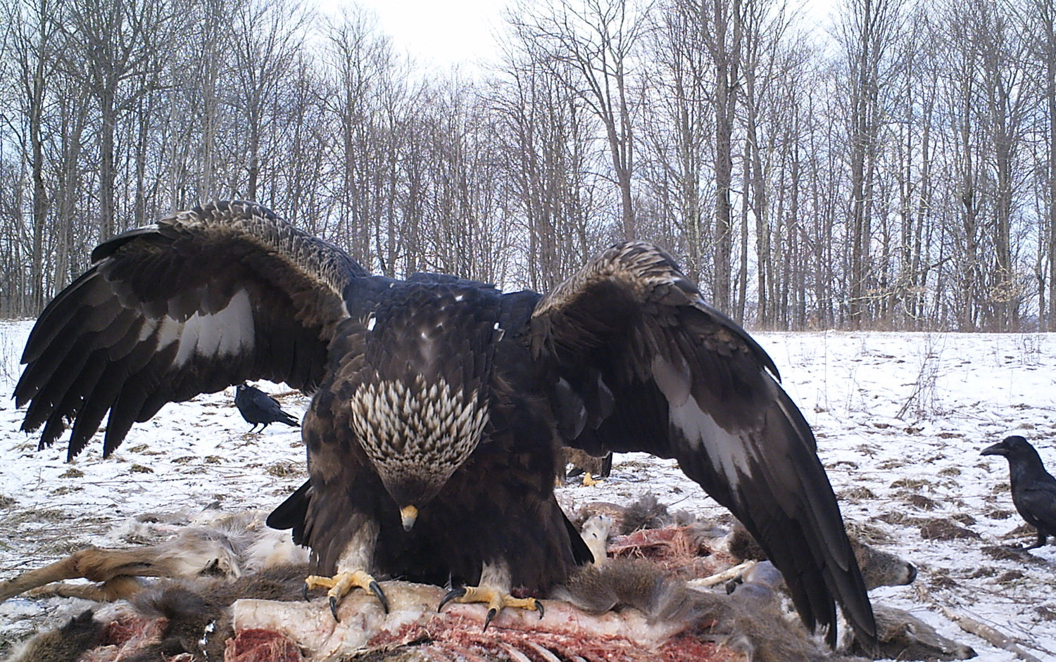 golden eagles in the catskills a members only presentation by