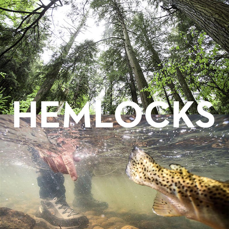 Trout thrive in the cold waters - that flow through the Catskills' hemlock forests.The Catskill Regional Invasive Species Partnership (a program of the Catskill Center) works to fight the hemlock wooly adelgid, an invasive insect that threatens hemlock groves.Learn more.