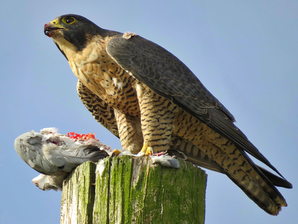 Peregrine_Falcon_with_Kill.jpg