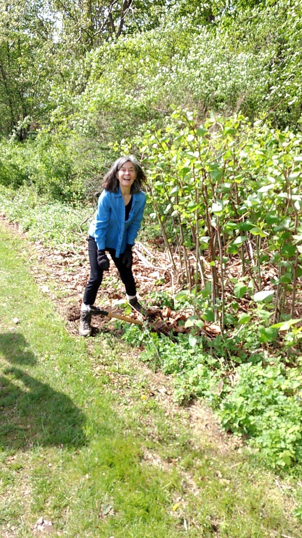 Susan Mayr digging out knotweed - image by Dan Snider