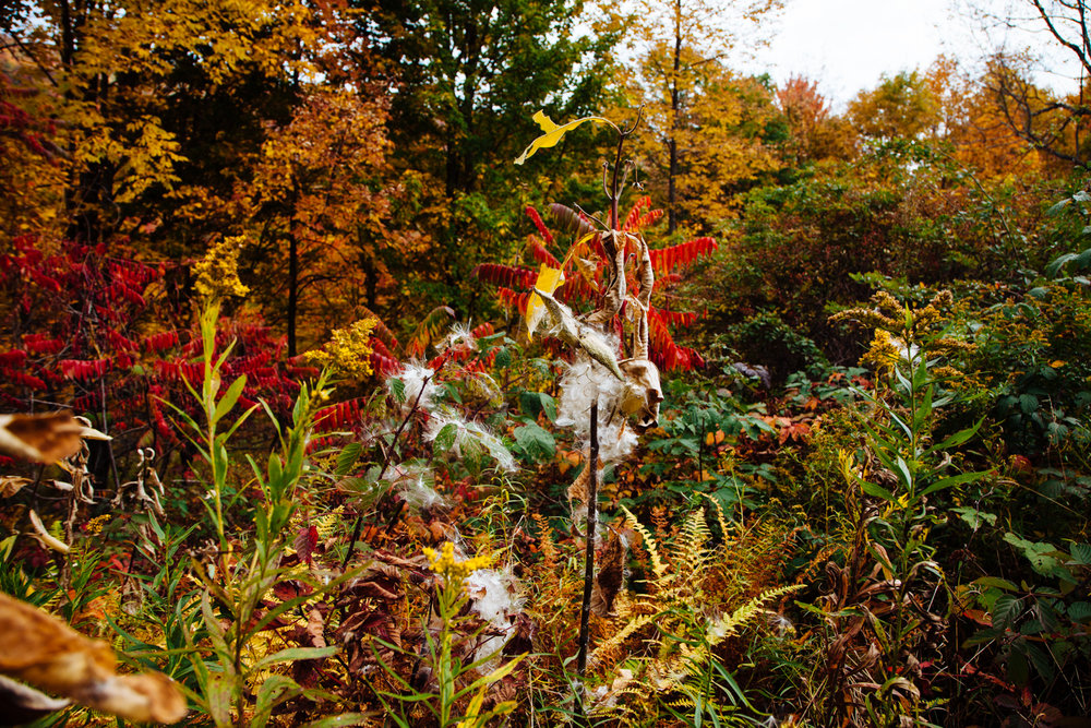 September mIlkweed in the Catskills Photo: Heather Phelps-Lipton