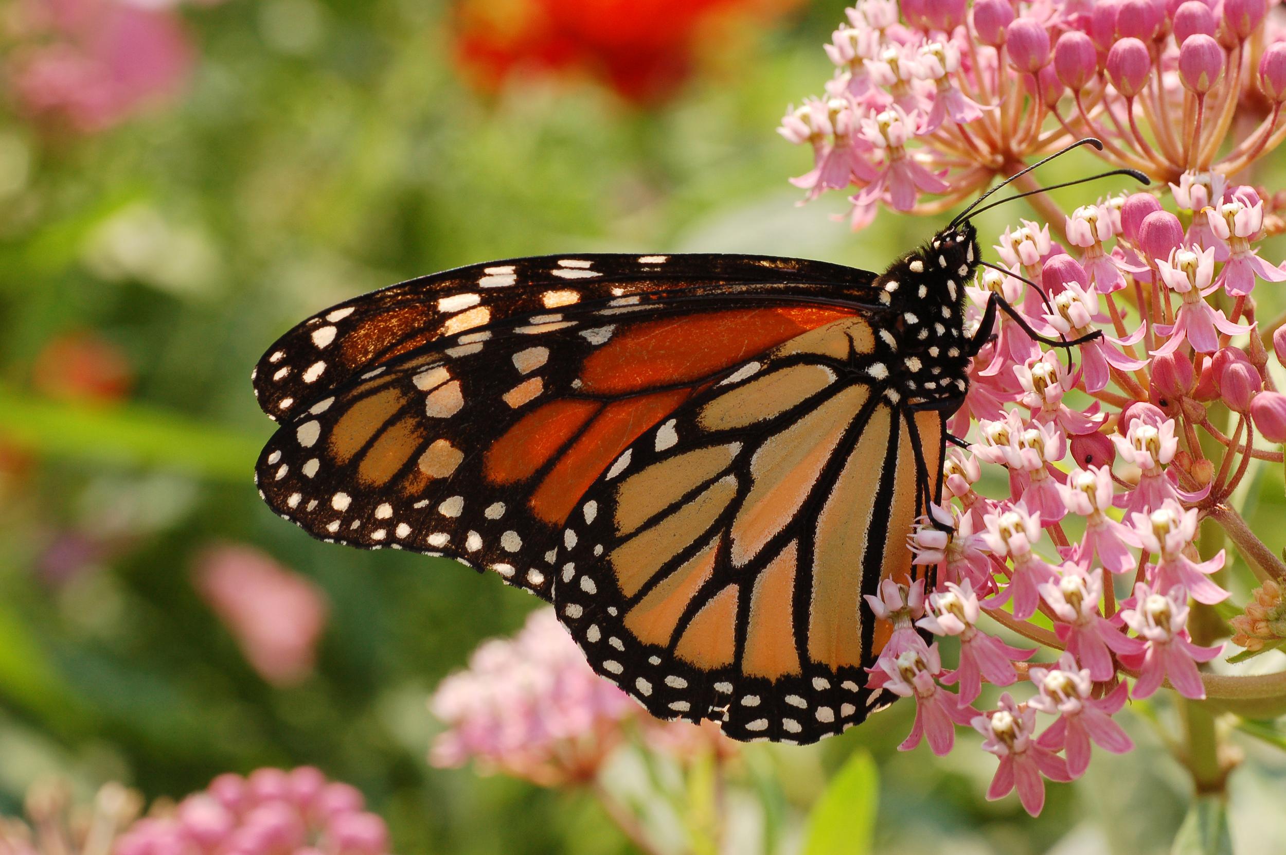 Monarch_Butterfly_Danaus_plexippus_Milkweed