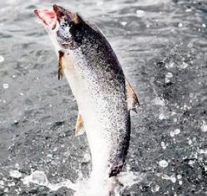 Chilean Salmon