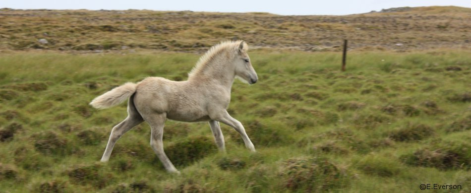 foalrunning.jpg