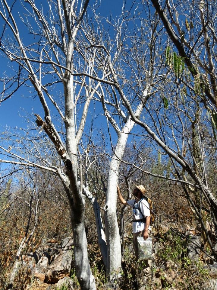 Ipomoea arborescens