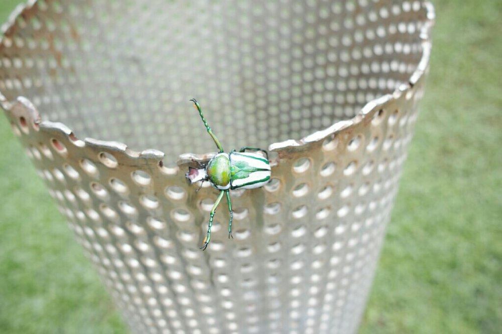 Awesome campsite bug. Photo: K. Fleurial