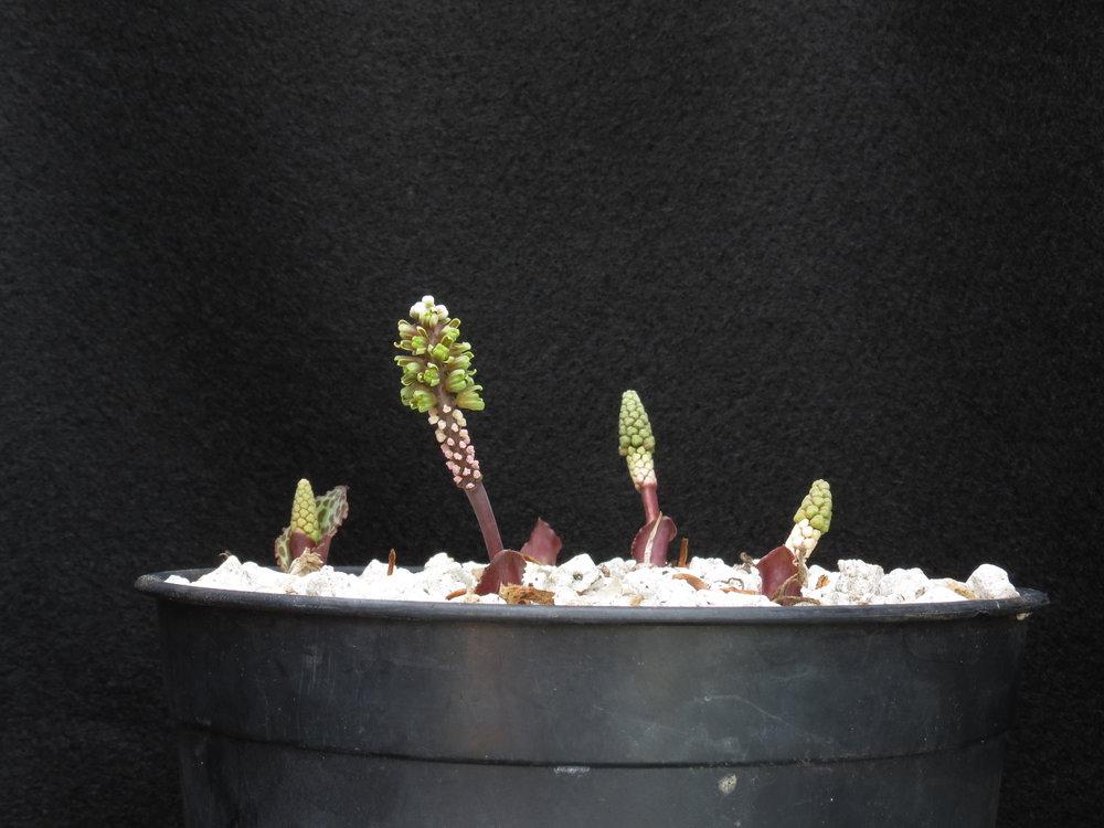 Drimiopsis aff. burkei