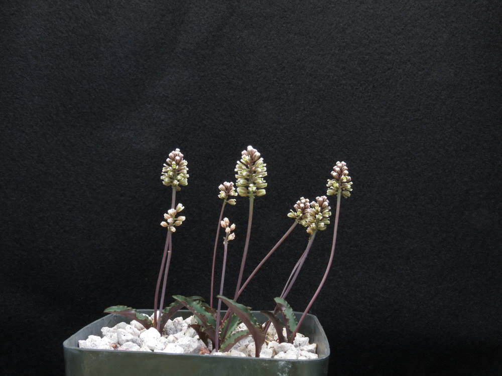 Drimiopsis davidsoniae