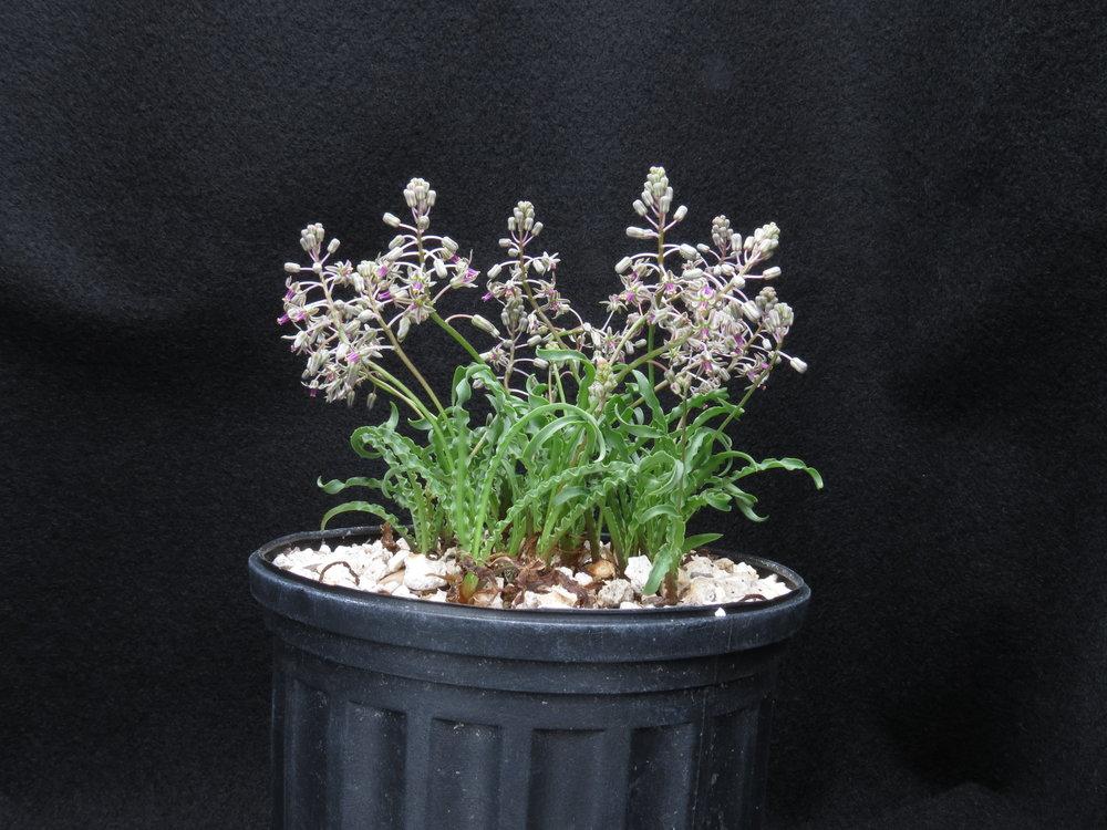 Ledebouria crispa