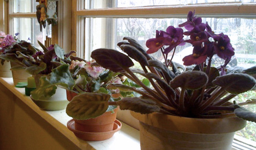 Mimi's African Violets