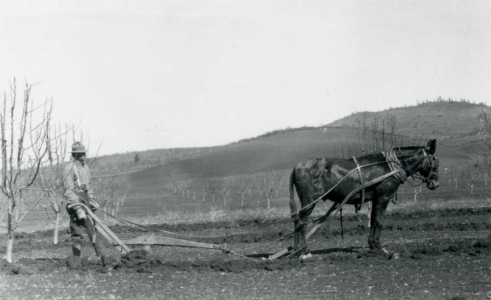 Horse pulling plow in an orchard, southern Oregon?   https://oregondigital.org/catalog/oregondigital:df70cs31p