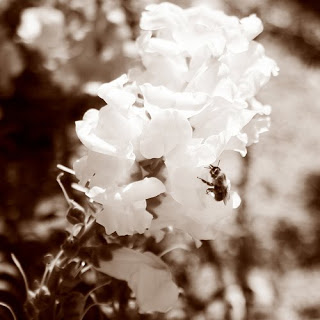 sepia bee snap dragon photograph