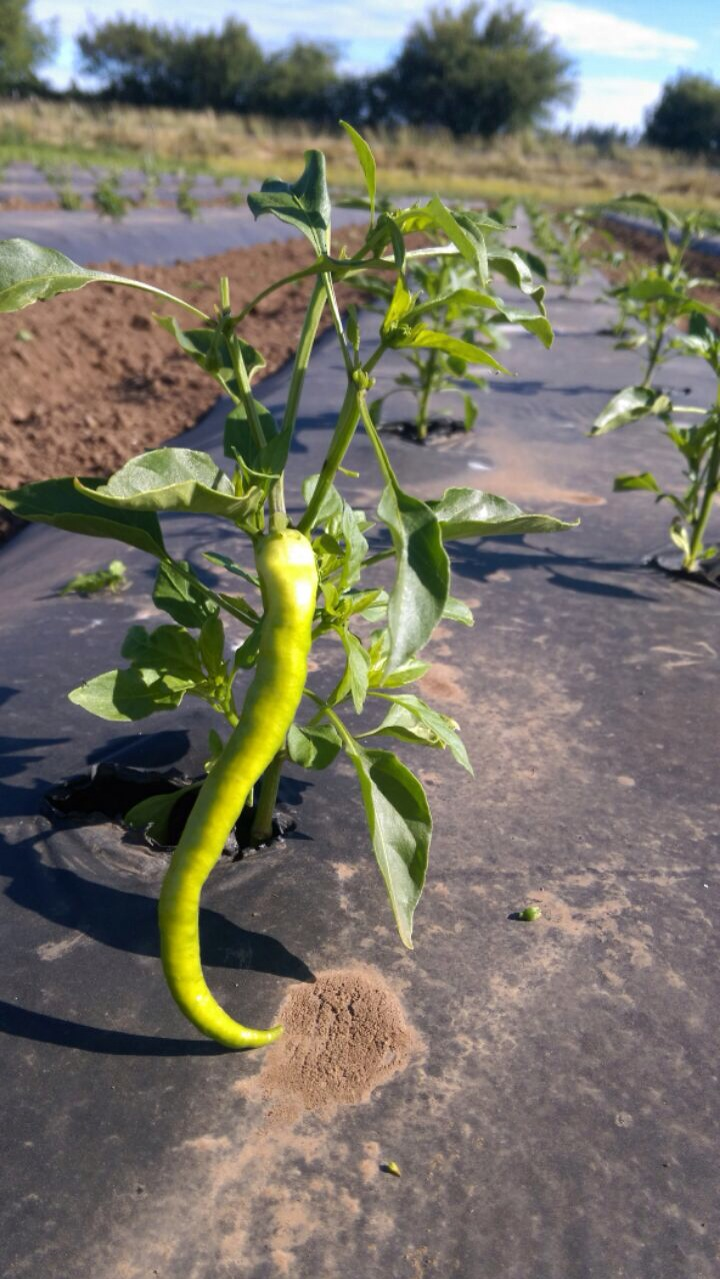 First fushimi pepper. Way ahead of his buddies