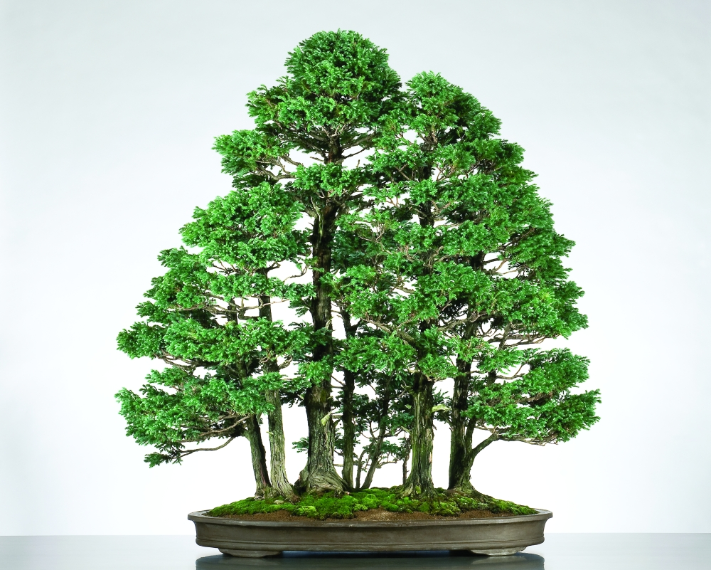 Boulevard Sawara False Cypress