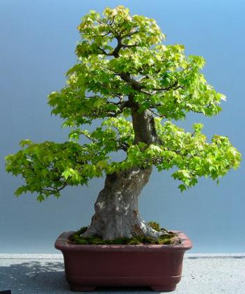 Trident Maple (Sumo)