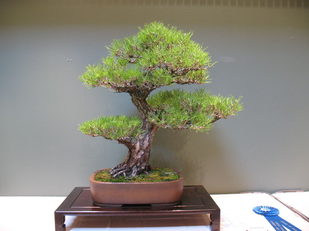 2015 Mid-America Exhibit - Open - Black Pine