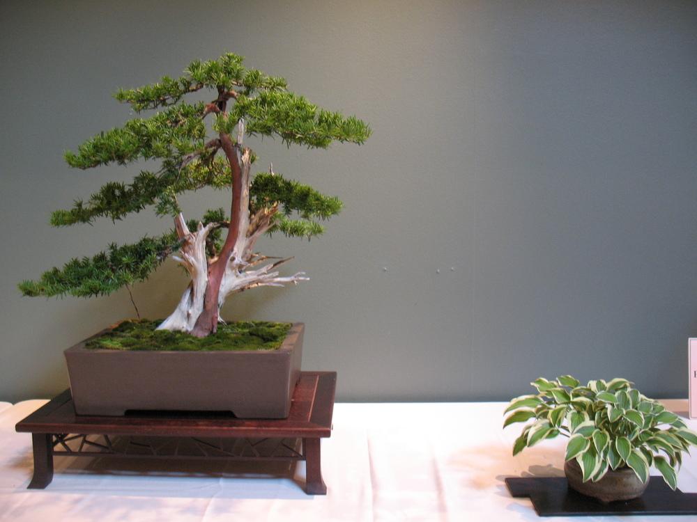 2015 Mid-America Exhibit - Professional - Japanese Yew