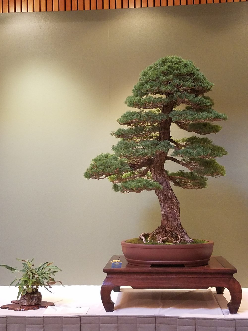 2017 Mid-America Bonsai Exhibition - Japanese Five Needle Pine - Informal Upright
