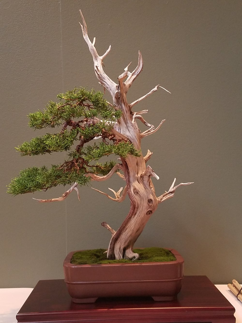 2017 Mid-America Bonsai Exhibition - Itoigawa Juniper - Informal Upright