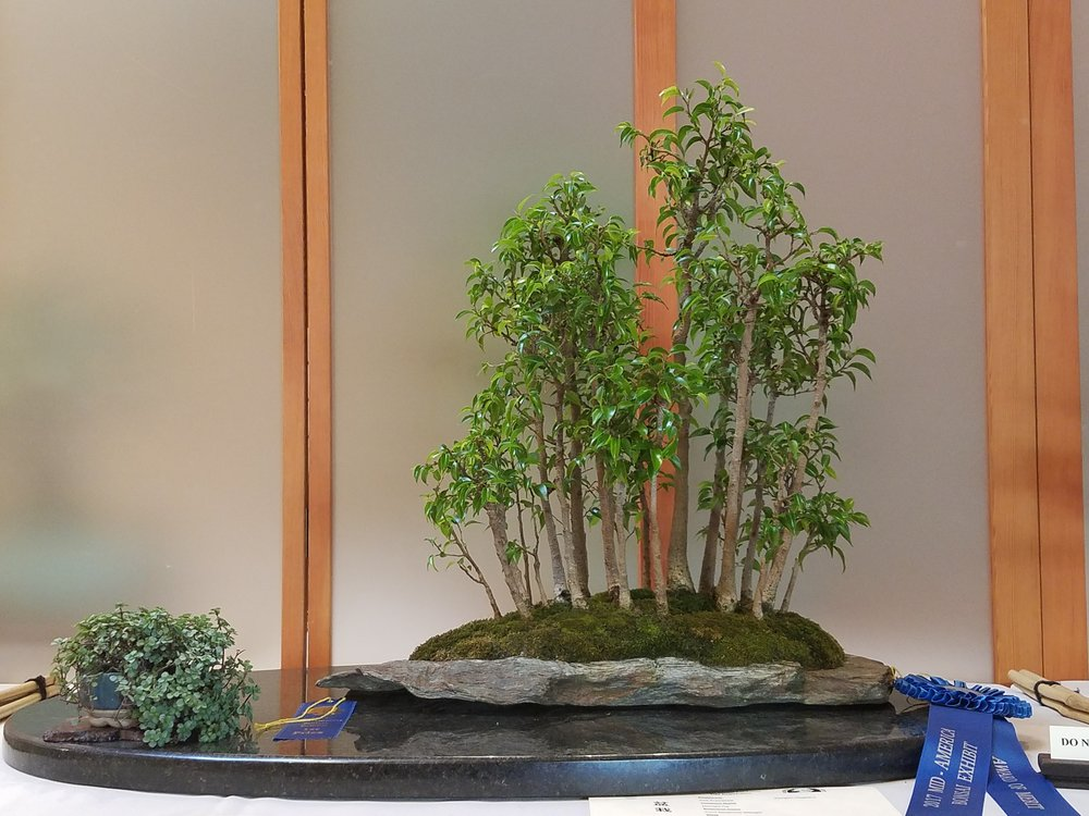 2017 Mid-America Bonsai Exhibition - Midnight Fig - Grove