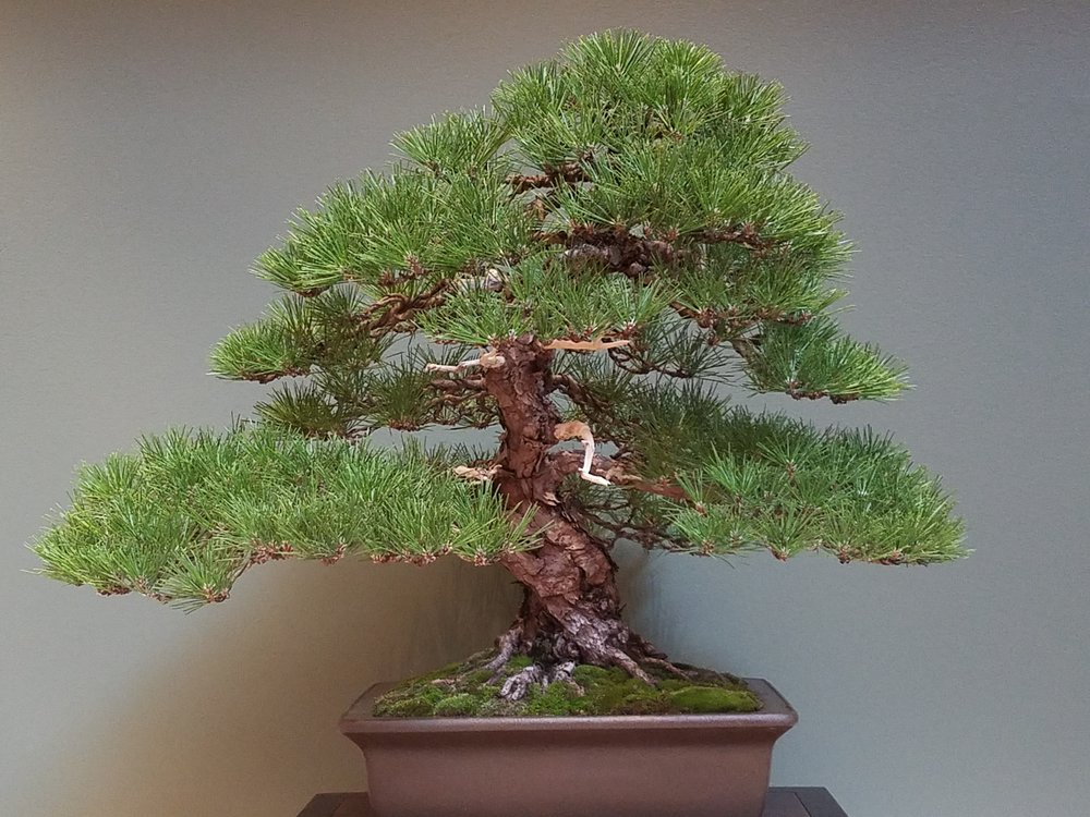 2017 Mid-America Bonsai Exhibition - Japanese Black Pine - Informal Upright