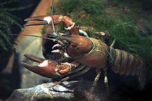 Signal Crayfish:  http://en.wikipedia.org/wiki/Signal_crayfish#/media/File:Signal_crayfish_female_Pacifastacus_leniusculus.JPG