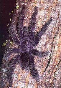 http://www.greentracks.com/Peruvian-Tarantula-Tour.htm