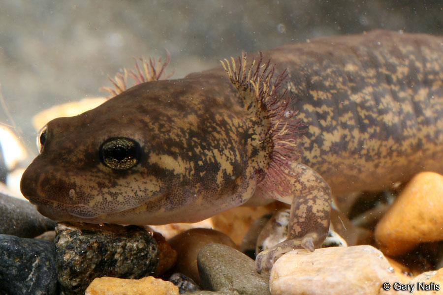 Coastal Giant Salamander