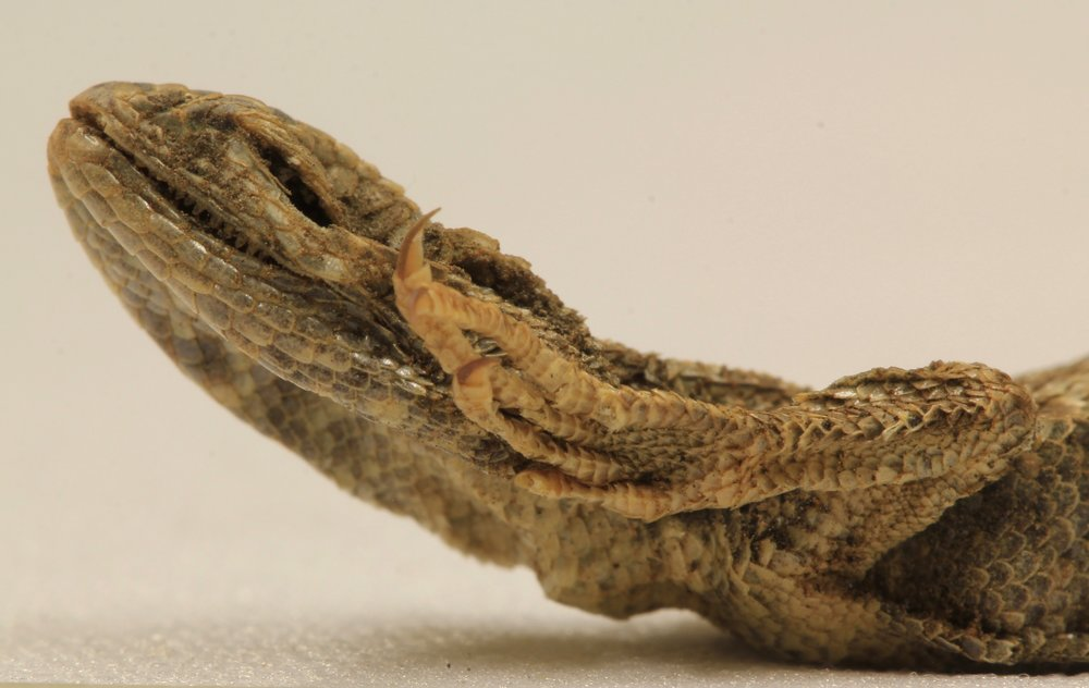 Sagebrush Lizard Mummy, Paisley Caves. Photo by Thomas Desvignes