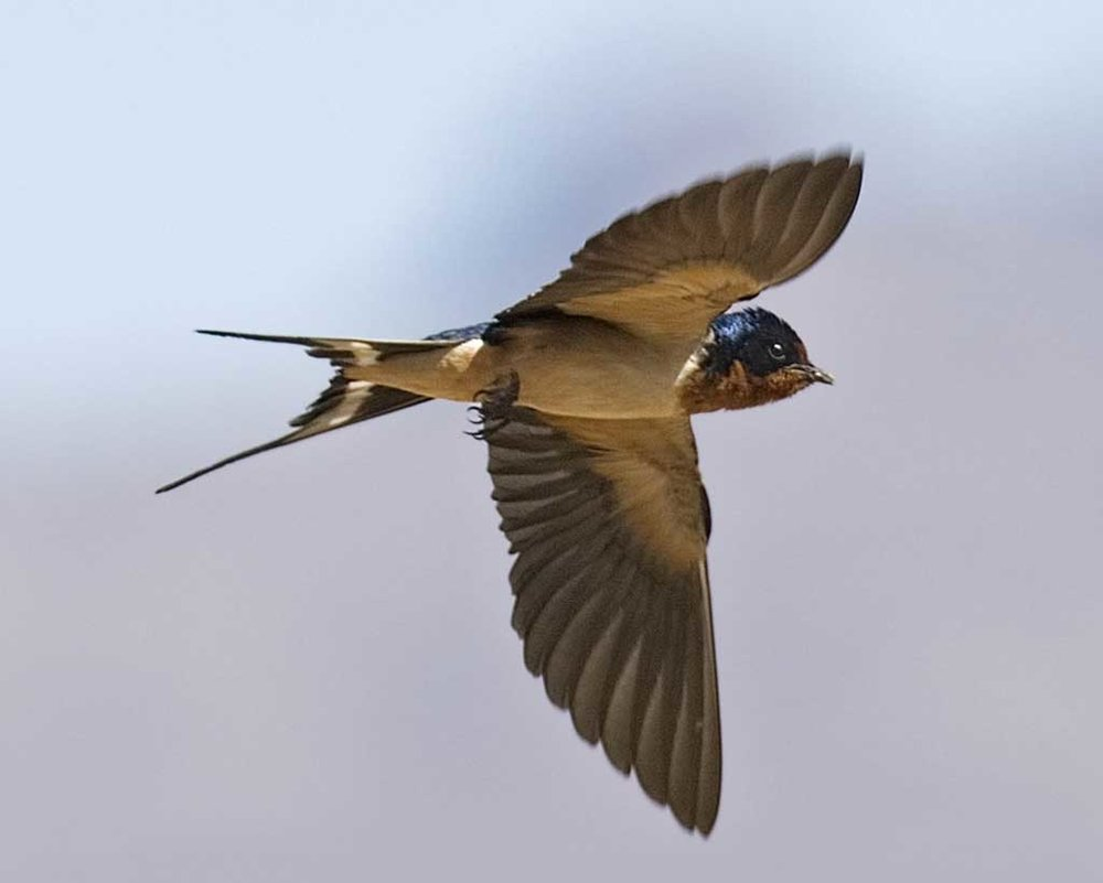 Barn Swallow    [ http://www.projectnoah.org/spottings/7182257/fullscreen